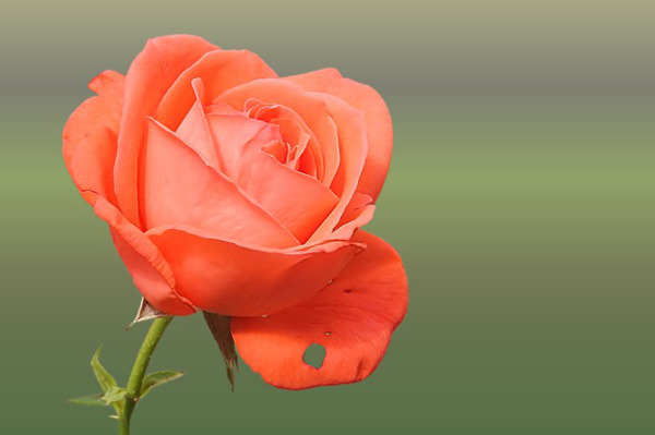 バラの花言葉で知っておきたい5つのもの