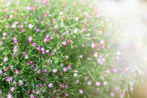 かすみ草の花言葉で意識しておきたい5つのもの