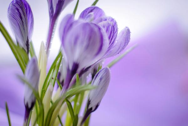 アイリスの花言葉で特徴的な5つのもの