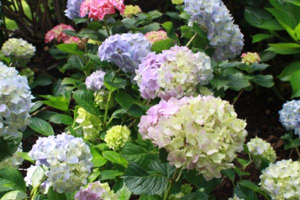 紫陽花の花言葉で知っておきたい5つのもの
