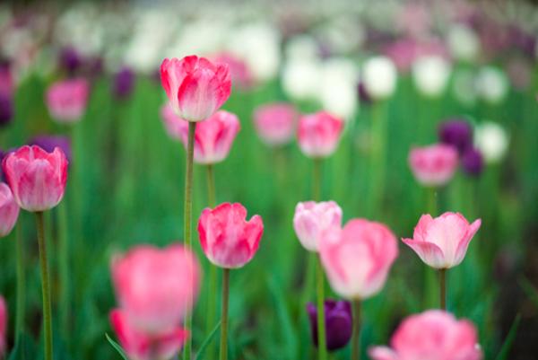 花言葉でチューリップのもつ5つのもの