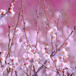 梅の花の花言葉で知っておきたいもの