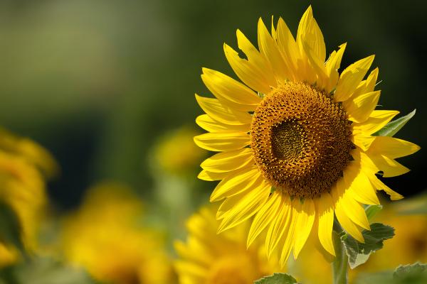 初恋に関する花言葉を持つ種類・告白するときのおすすめはどれ?