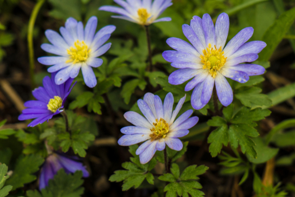 アネモネの花言葉と色別の意味について完全ガイド!