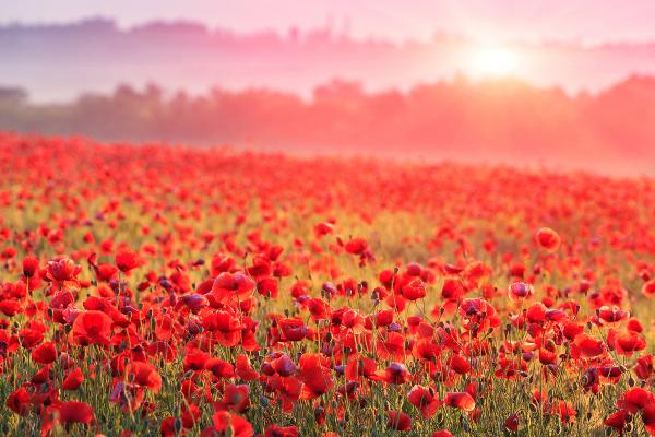 ヒナゲシの花言葉と特徴や魅力・癒しが欲しい人にオススメする理由